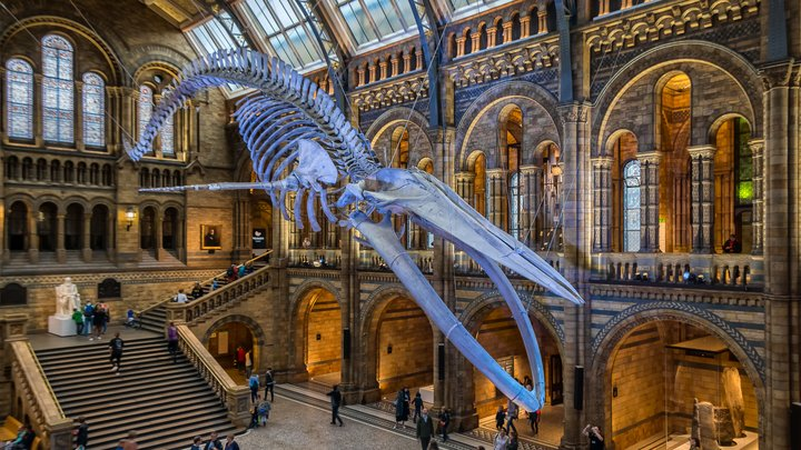 A skeleton of a large whale hangs from the ceiling at the Museum of Natural History.